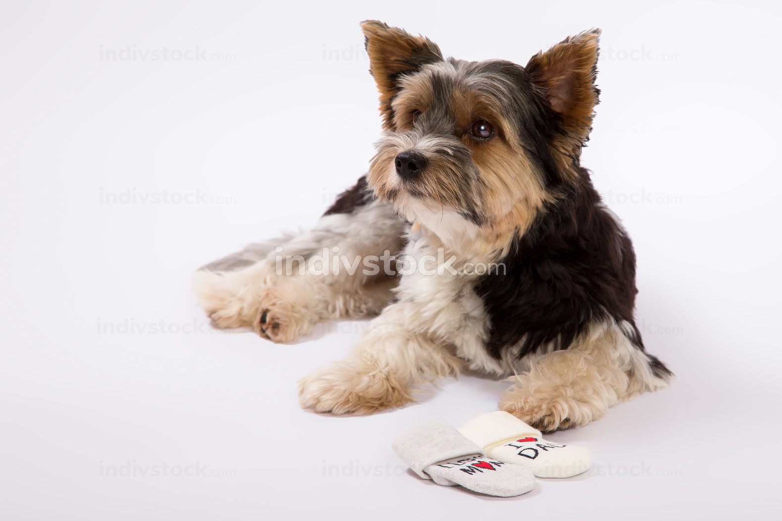 A Studio shot of small dog on a white background