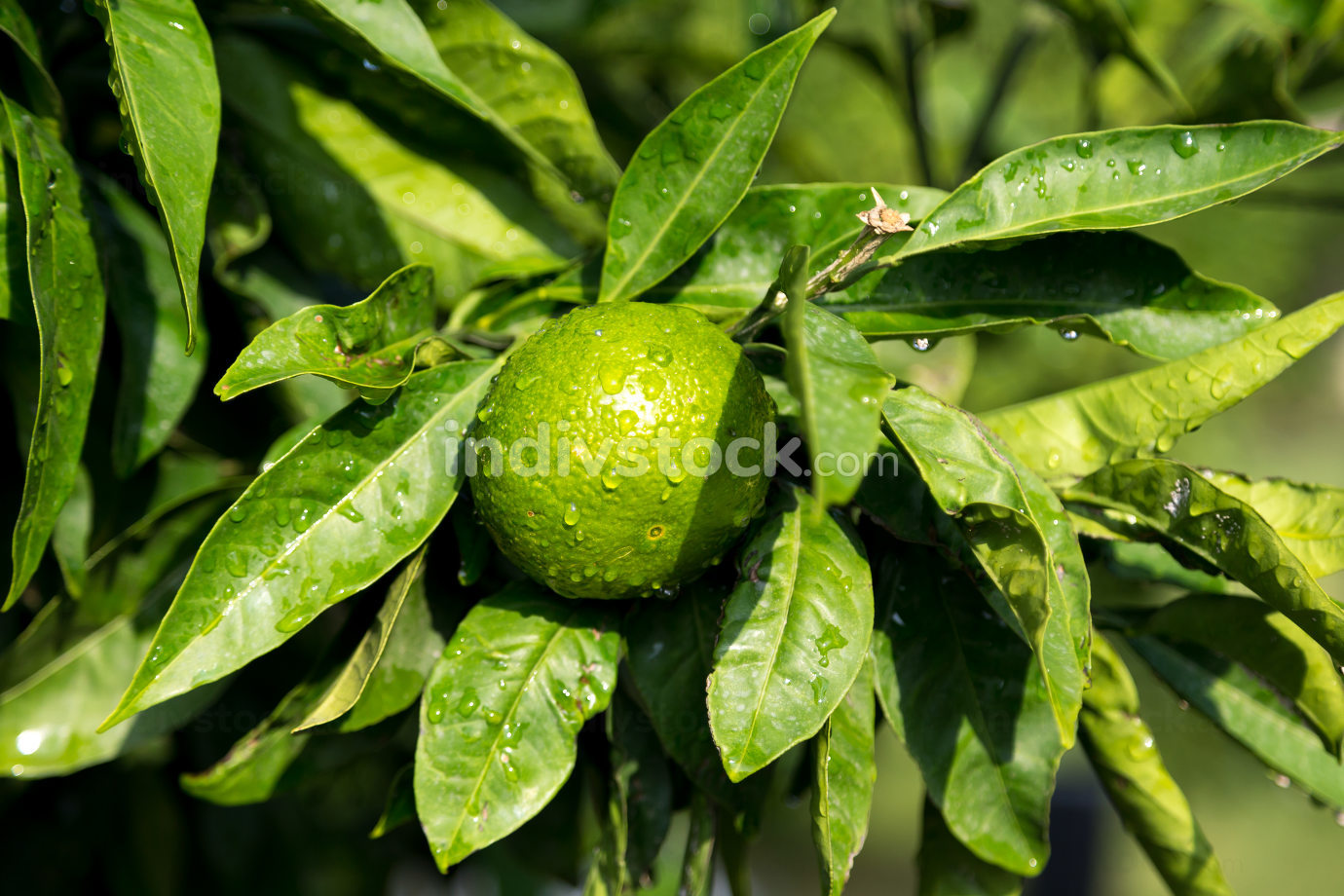a tangerine trees with unripe fruits and green leaves