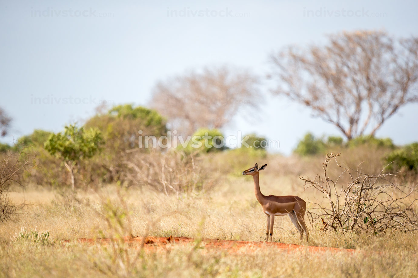 An antelope with a log neck is standing between the bush and watching