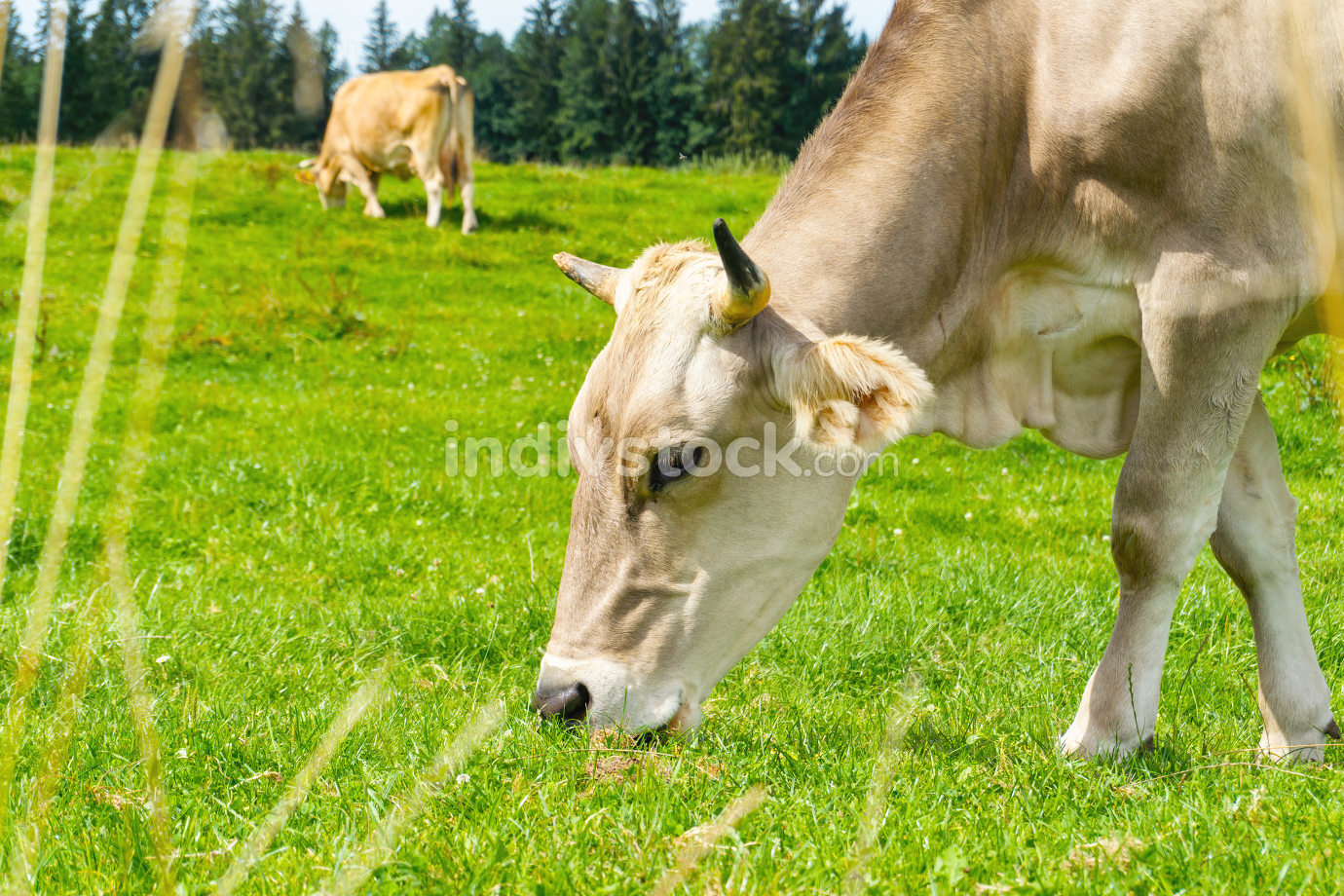 An image of a bright cow at the bavarian meadow