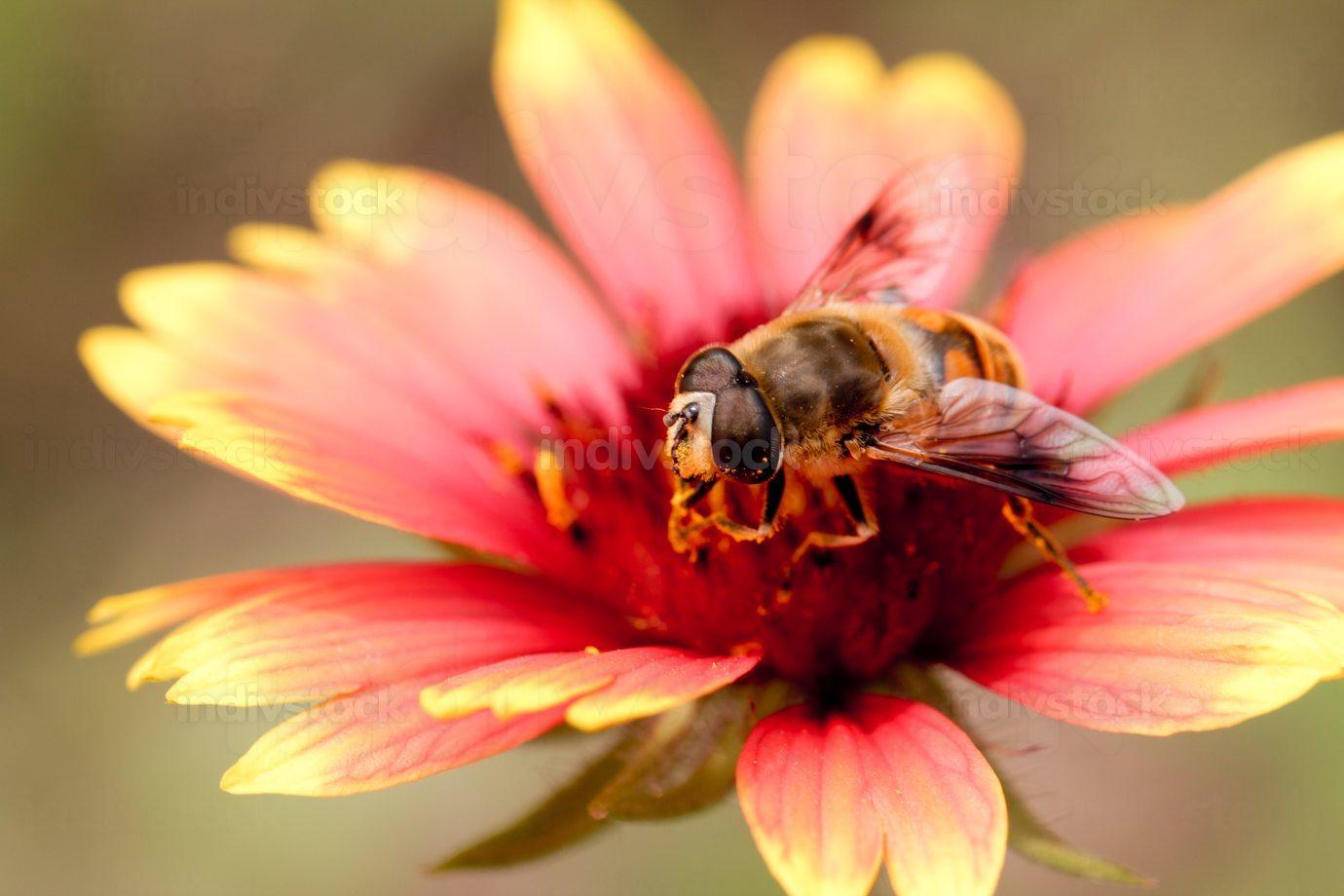 Bee and Gerbera