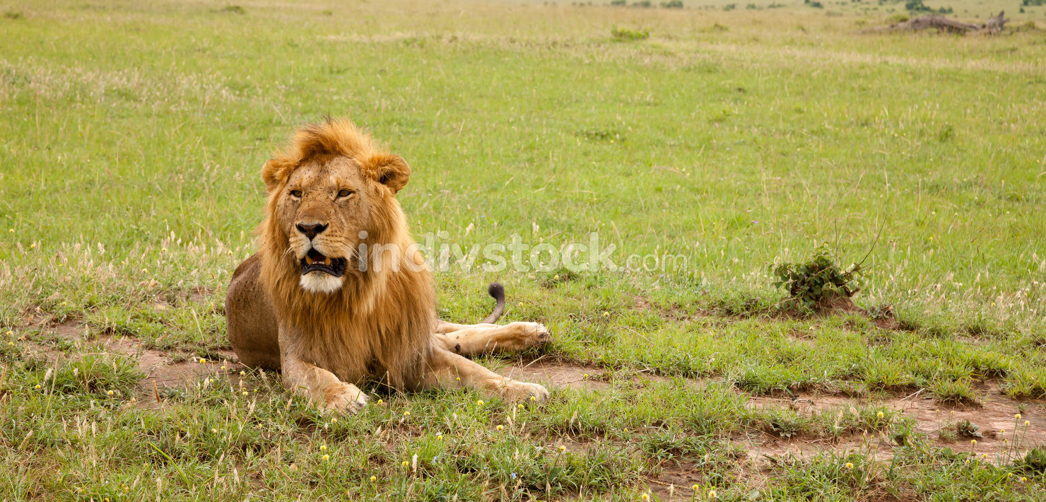 Big lion resting in the grass in the meadow, Africa