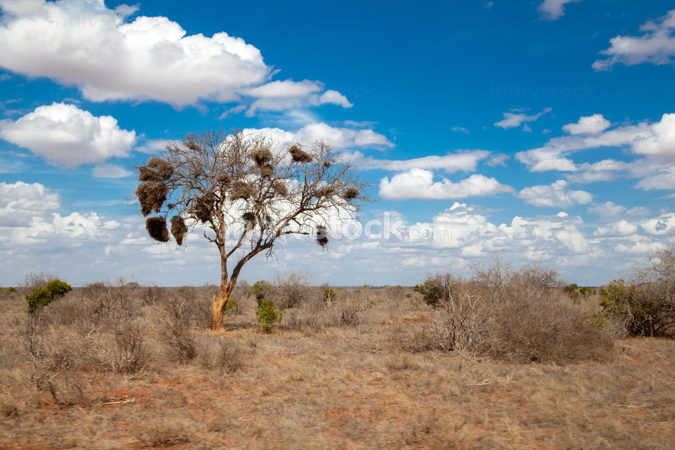 Big tree with nests of birds, blue sky and clouds, Kenya