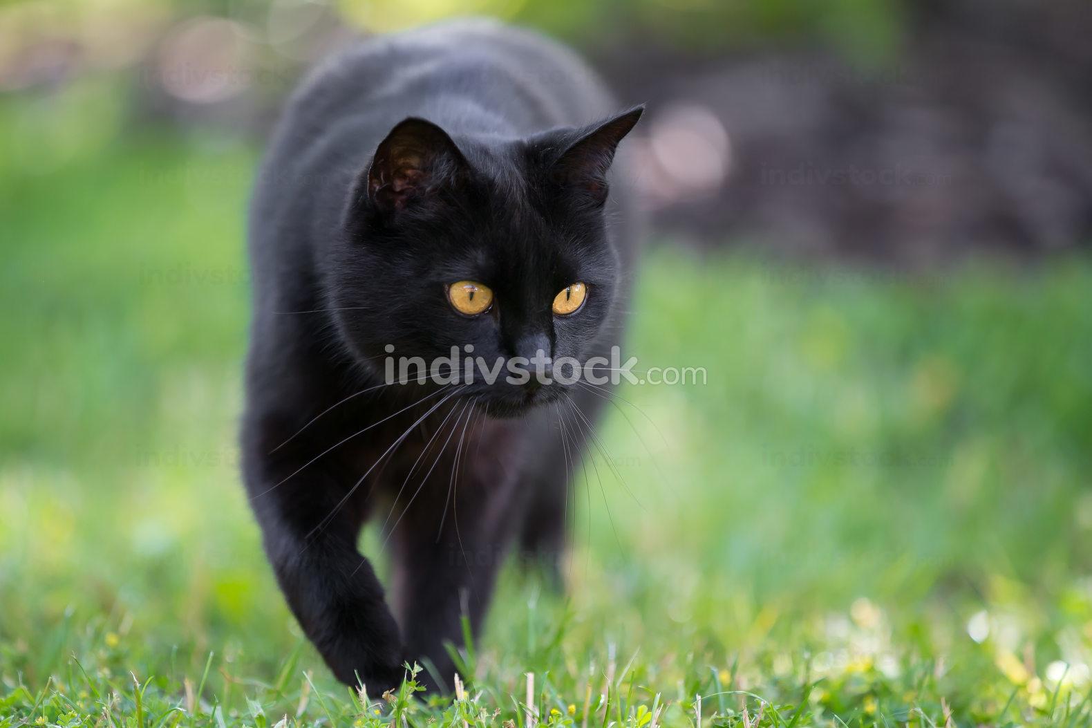 Black cat is walking