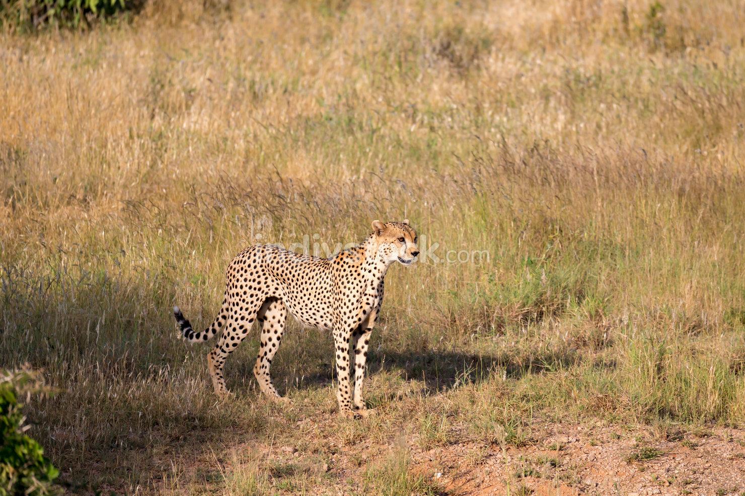 Cheetah in the grassland of the savannah in Kenya
