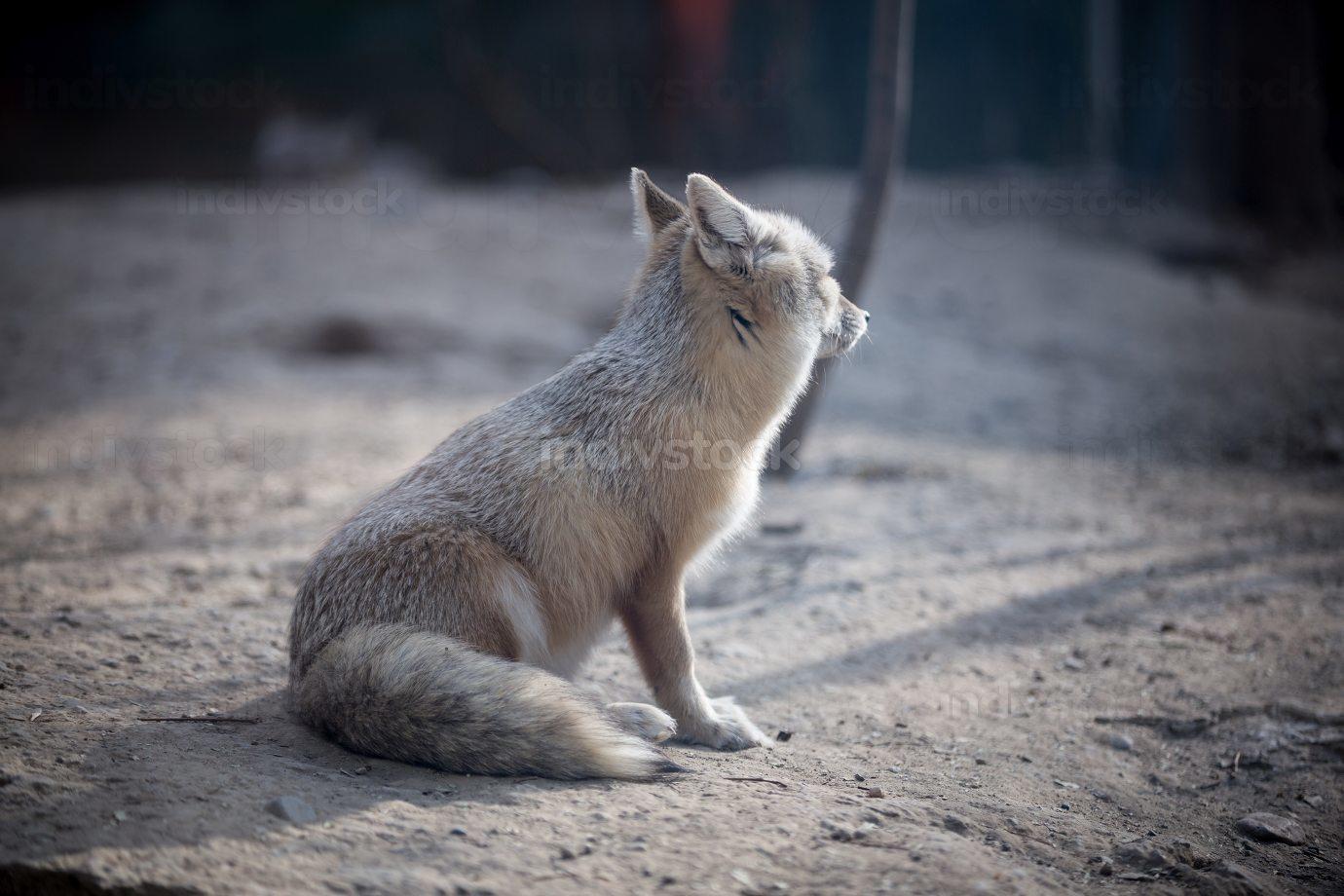 Corsac fox photo