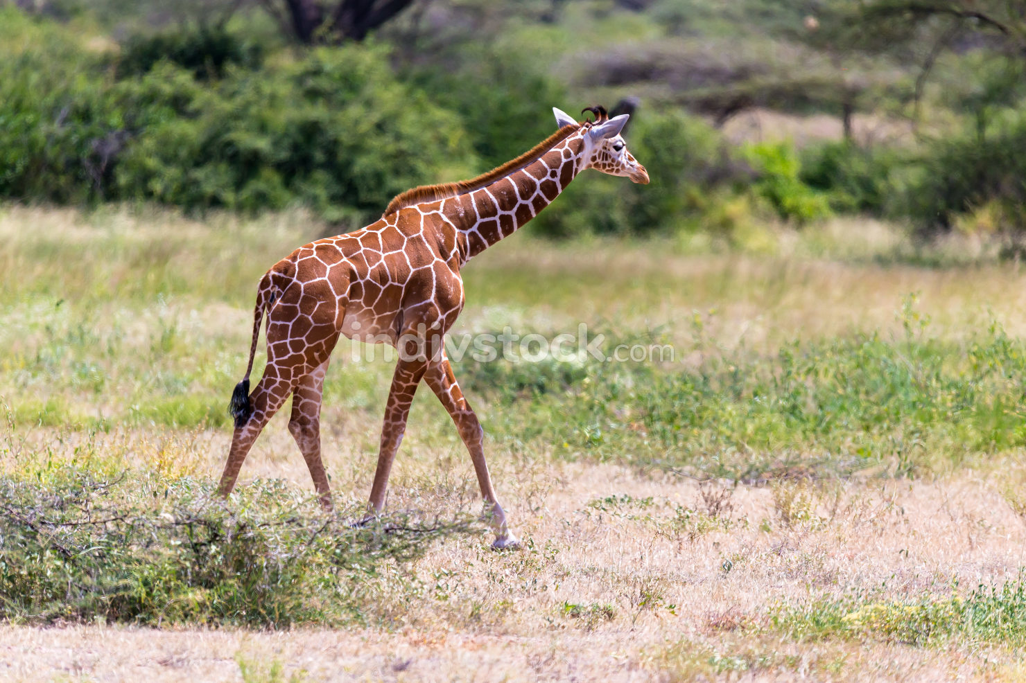 Giraffe walk through the savannah between the plants