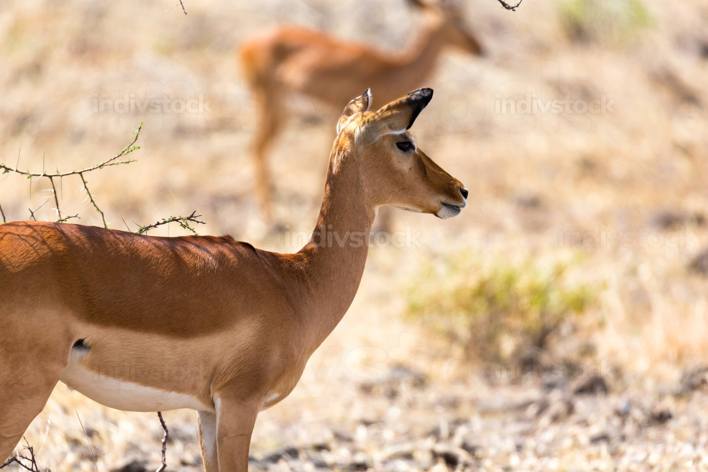 Grant Gazelle grazes in the vastness of the Kenyan savannah