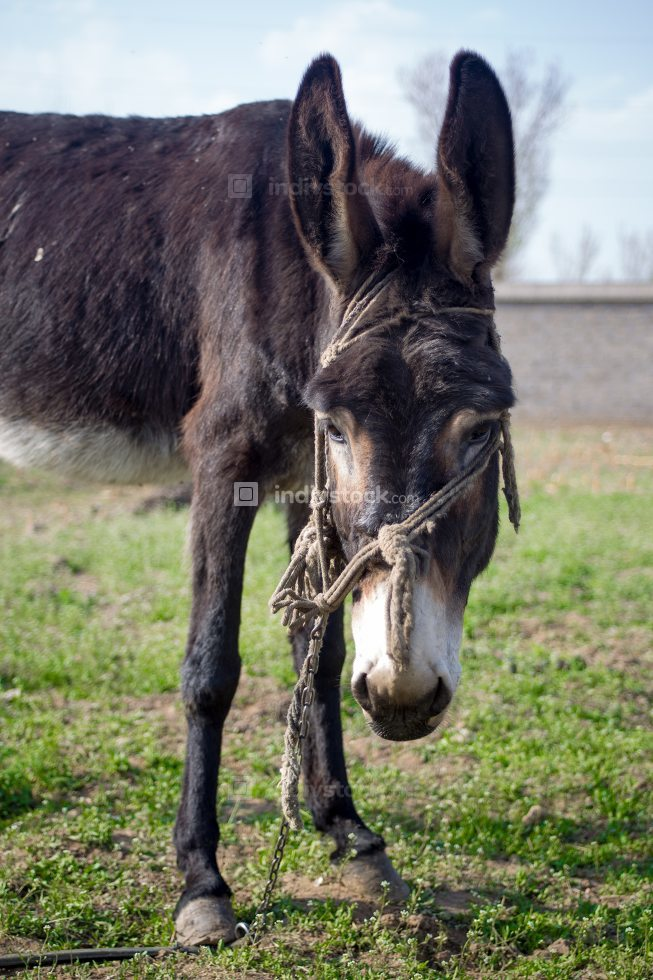 Laughing donkey on a meadow.