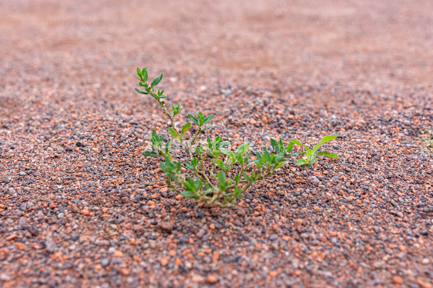 Leafy green weed growing in fine gravel