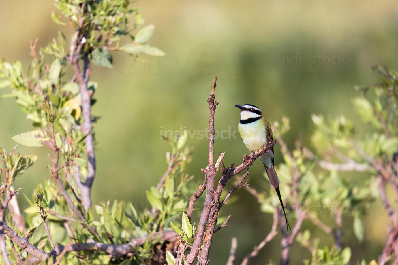 Local bird is sitting on a branch in Kenya