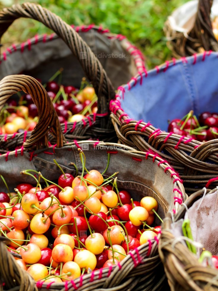 Many red wet cherry fruits (berries) in baskets.