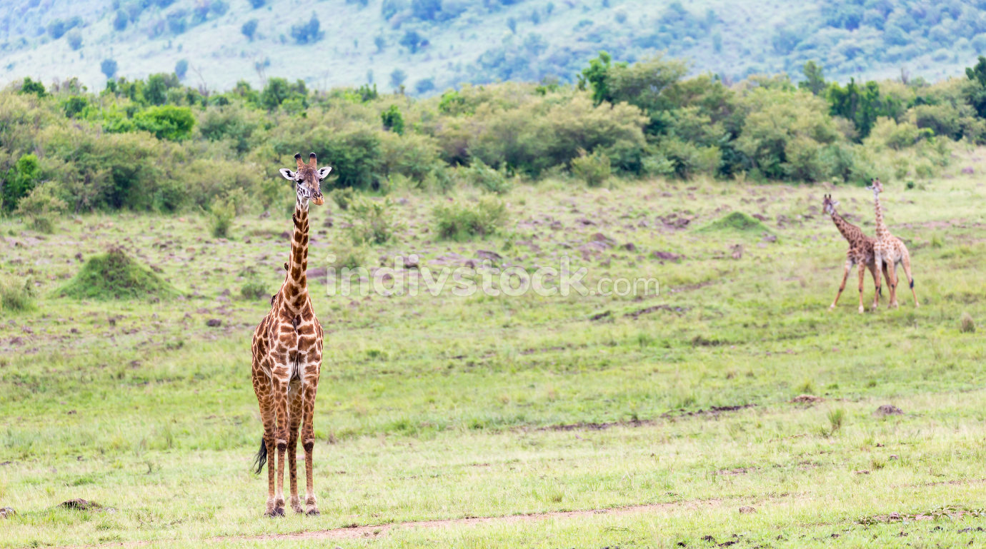 Masai giraffe in the Kenyan savanna on a meadow