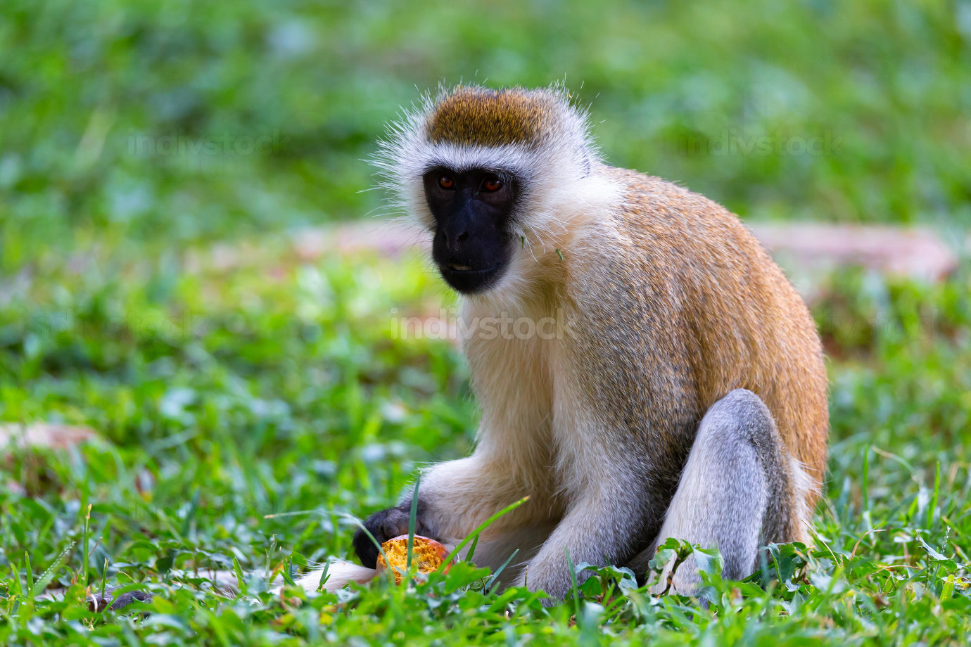 Monkey is doing a fruit meal in the grass