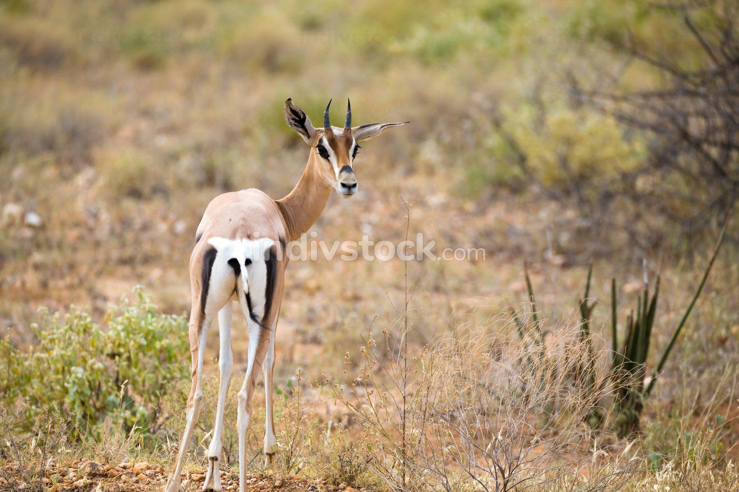 Native antelopes in the grasland of the Kenyan savannah