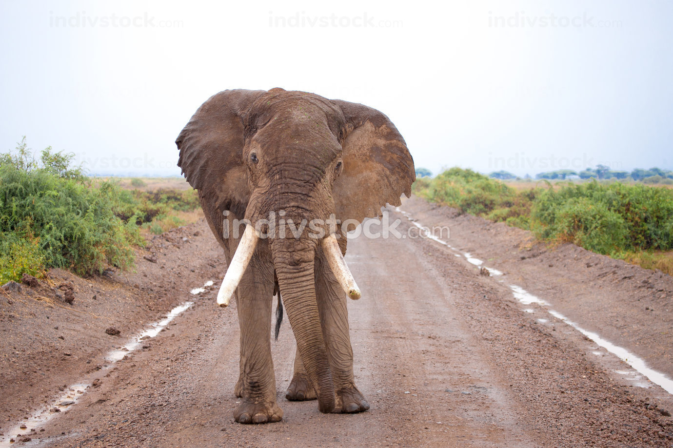 One big elephant is standing on the road, on safari in Kenya
