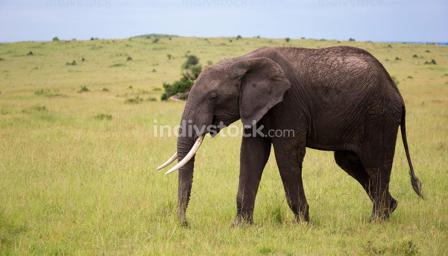 One elephant walking throught the savannah of Kenya