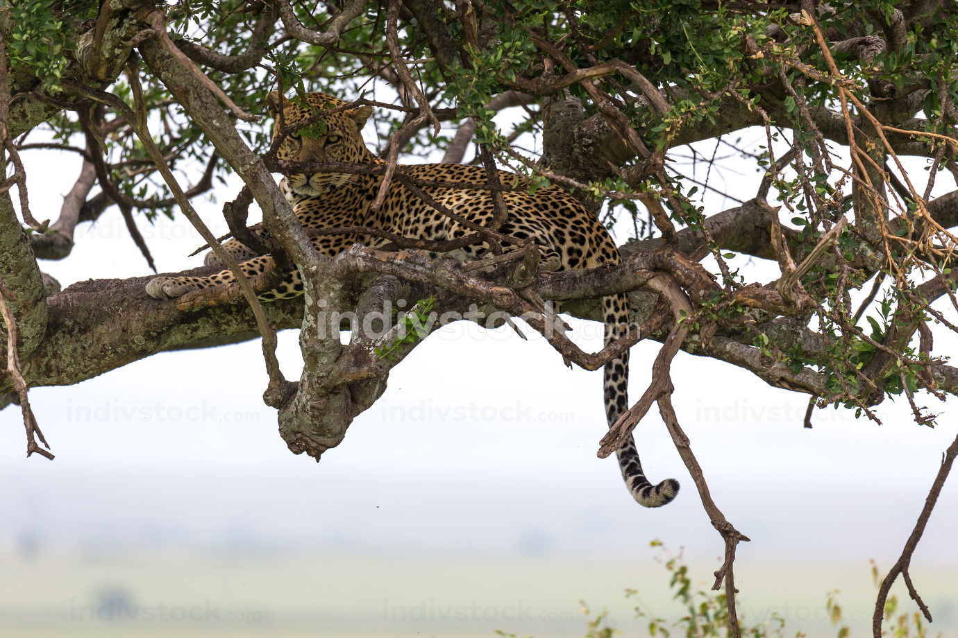 One leopard has settled comfortably between the branches of a tree to rest