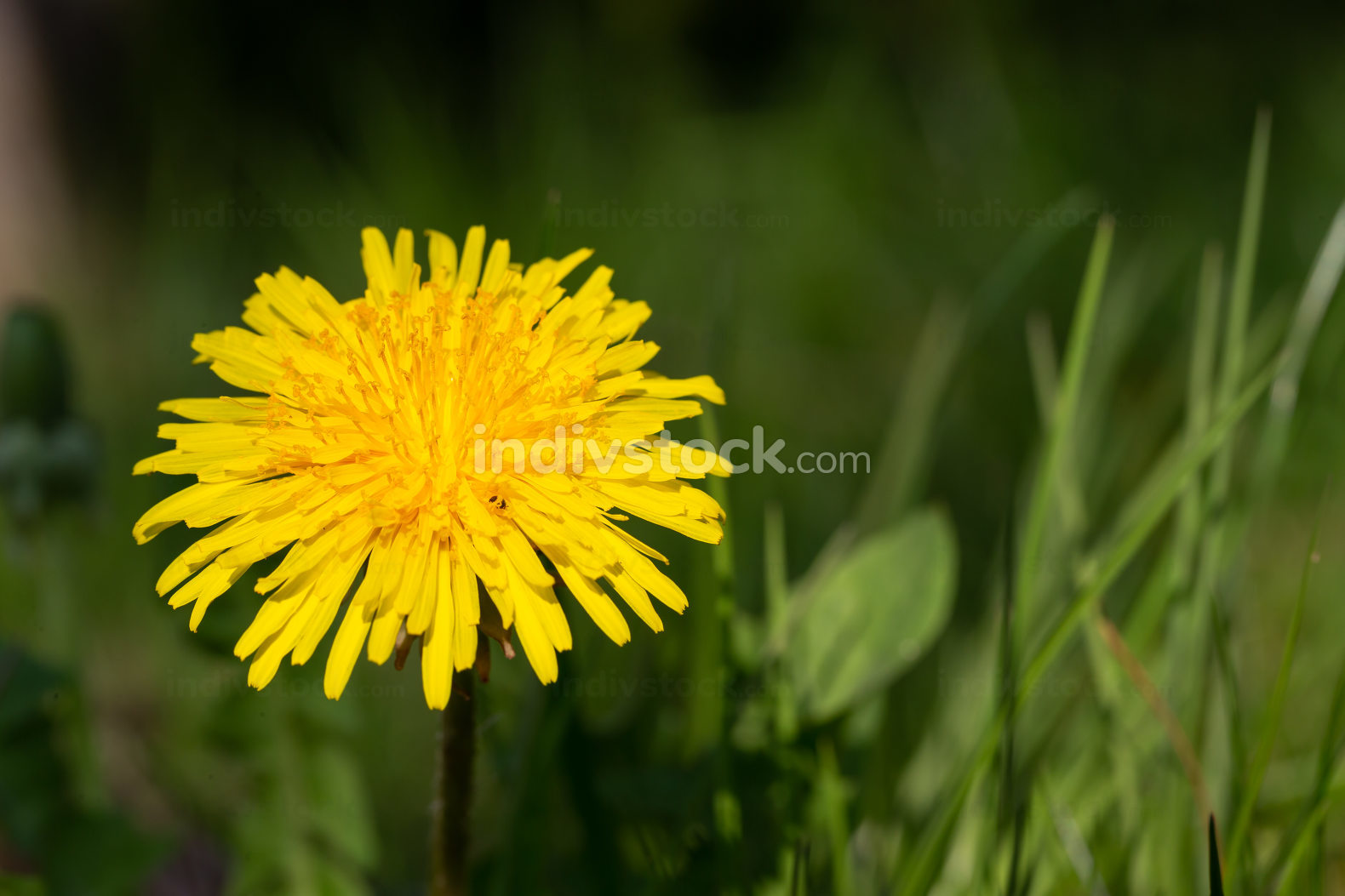 One Yellow dandelion in green grass in the meadow