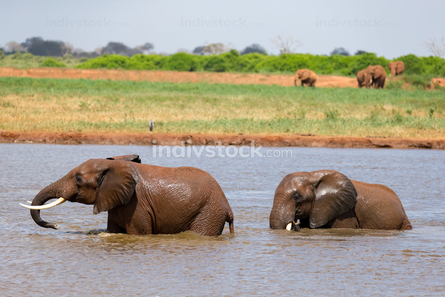 Red elephants bathe in a water hole in the middle of the savanna