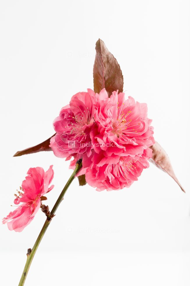 Red peach blossom in spring.