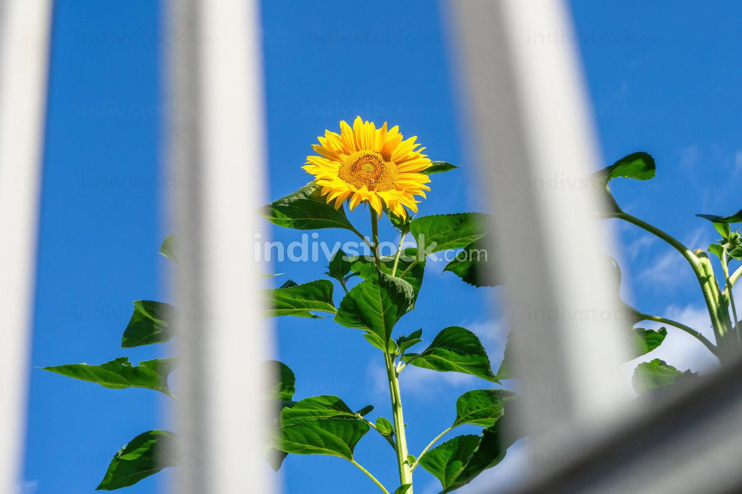 single sunflower behind grid