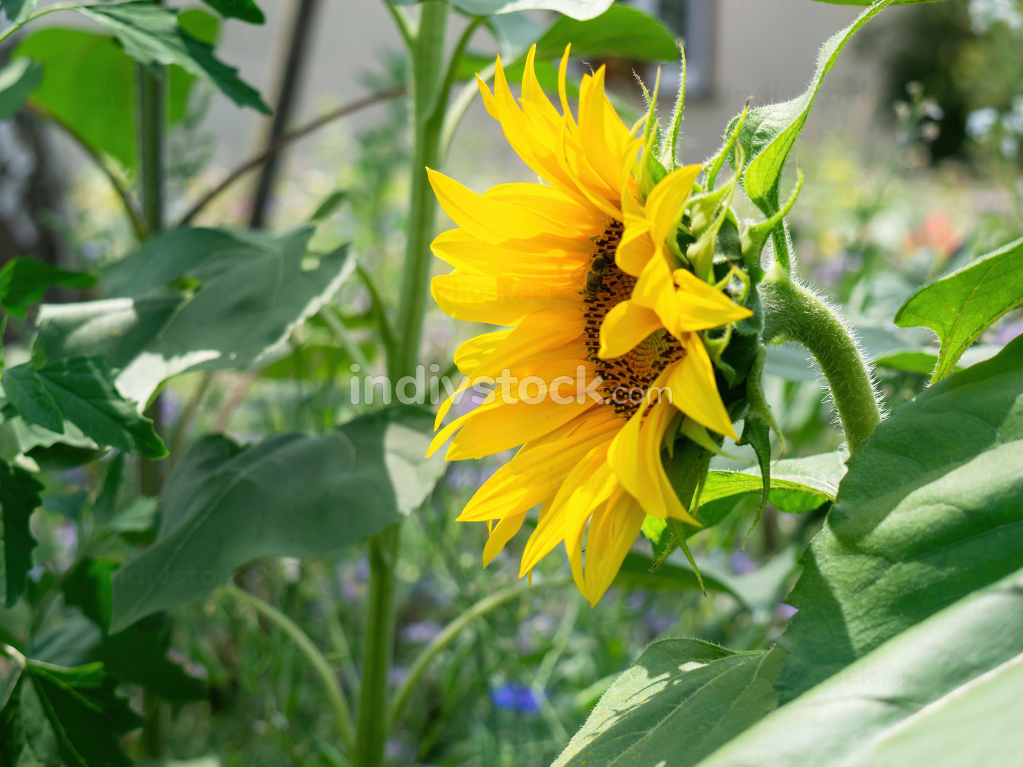 single sunflower in the garden