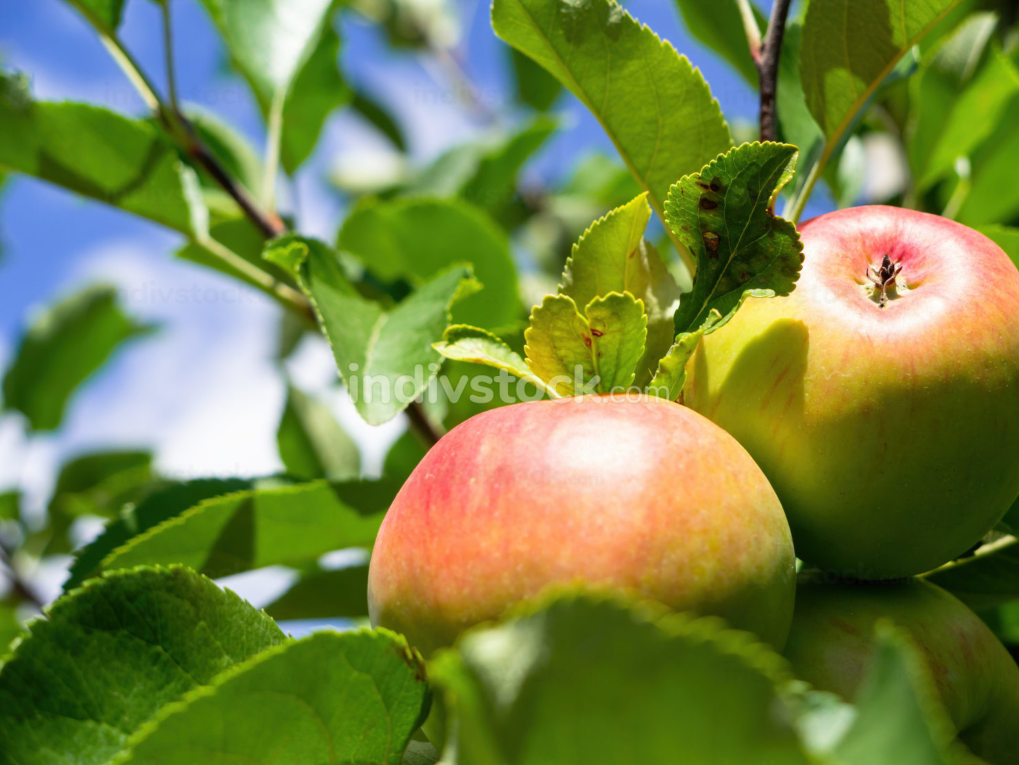 some fresh apples on a tree
