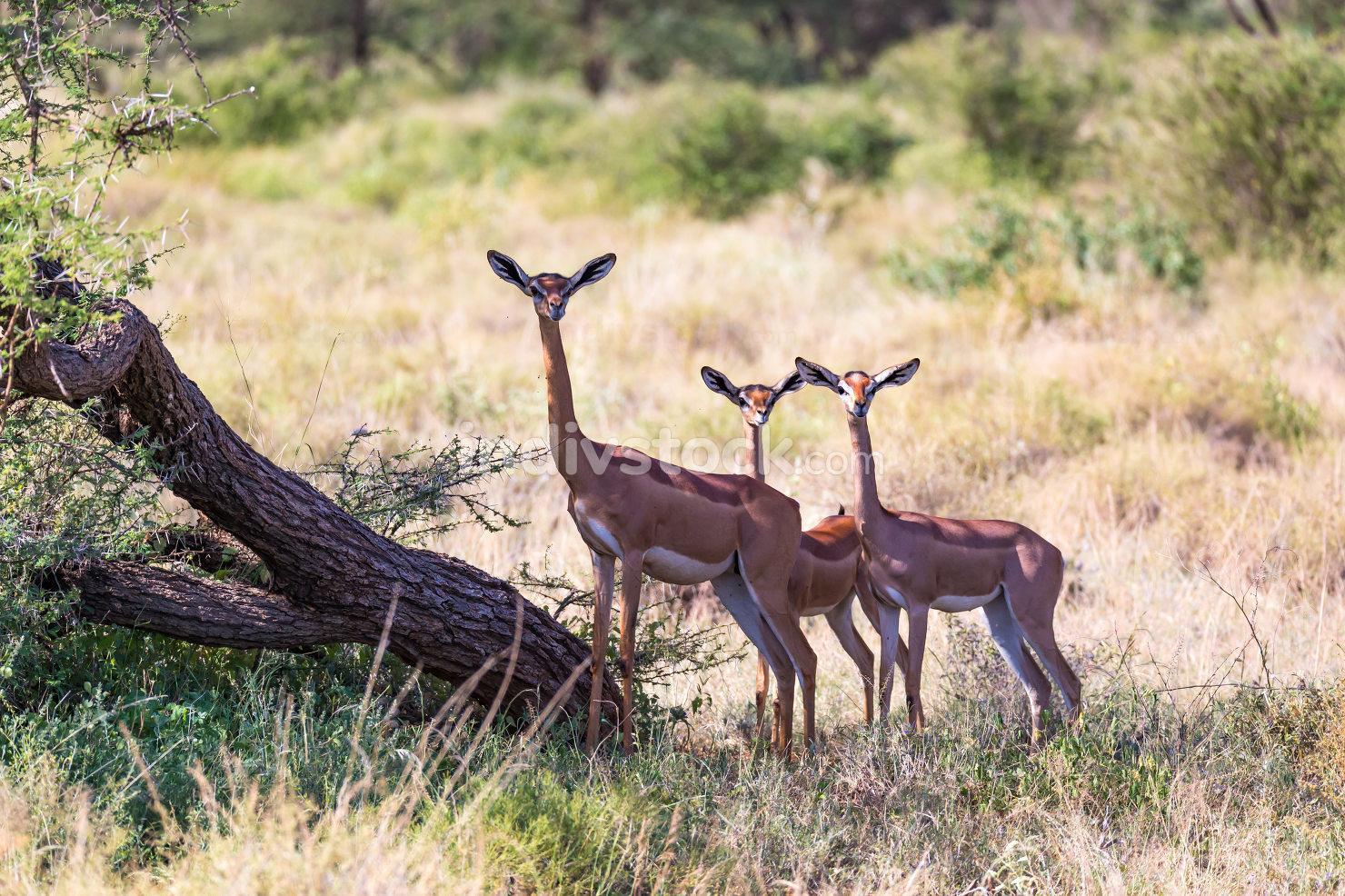 Some gerenuk in the kenyan savanna looking for food