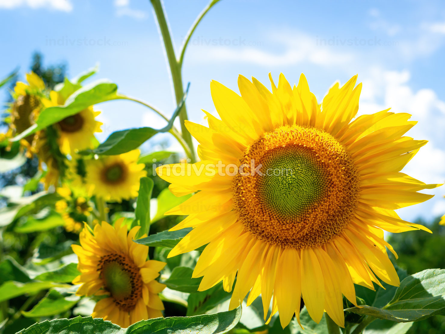some sunflowers on a sunny day