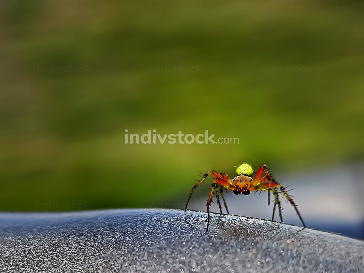 Spider with big eyes and yellow abdomen at steering wheel. Close