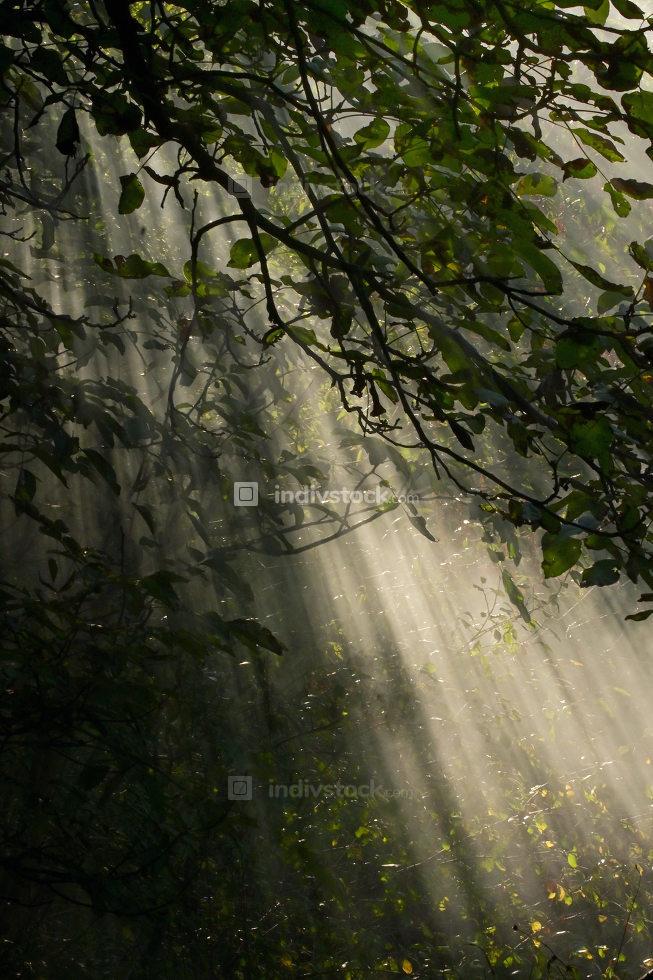 Sunrays Illuminate Through A Forest