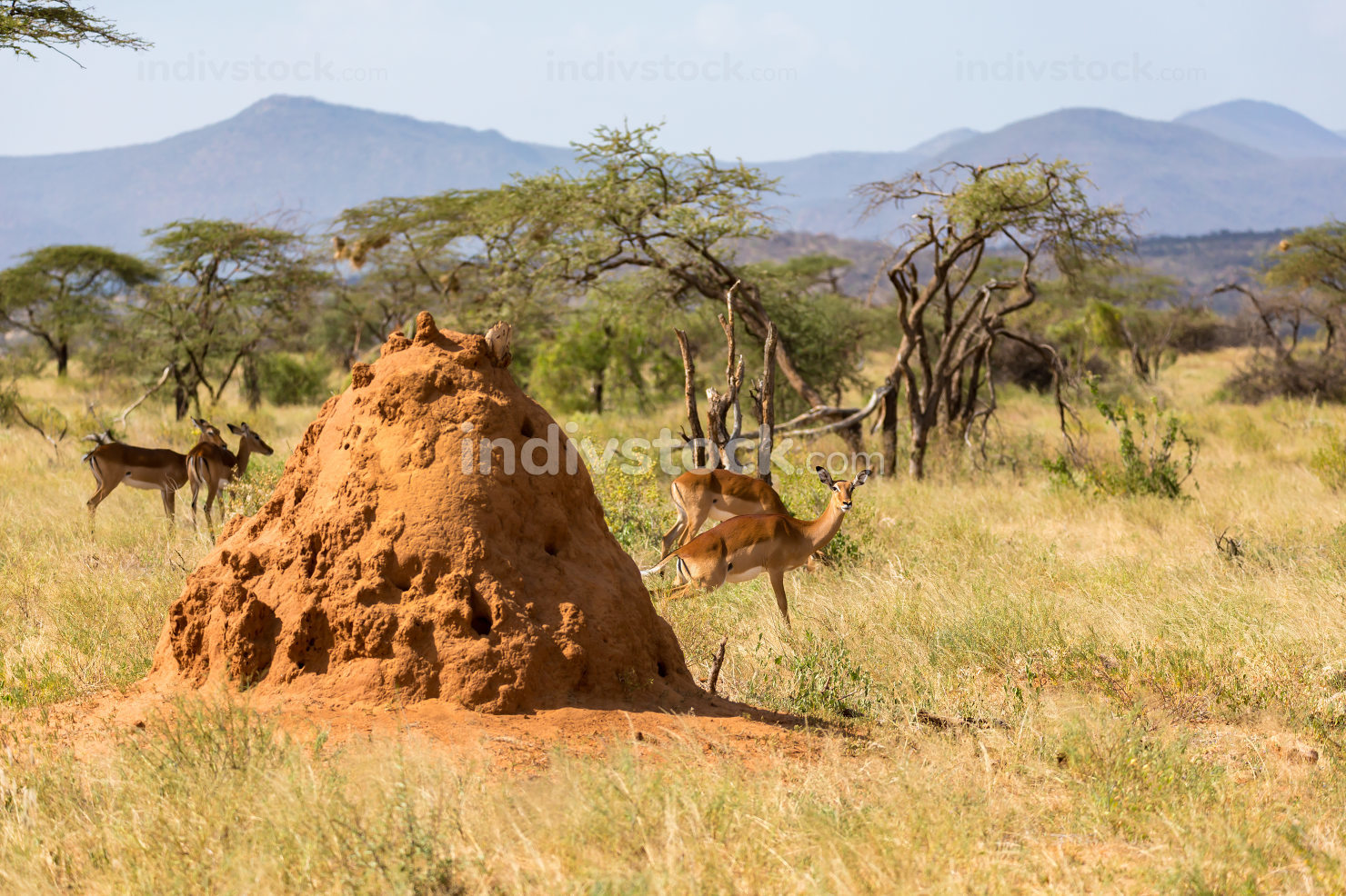 The large anthill behind which Gerenuk's hide