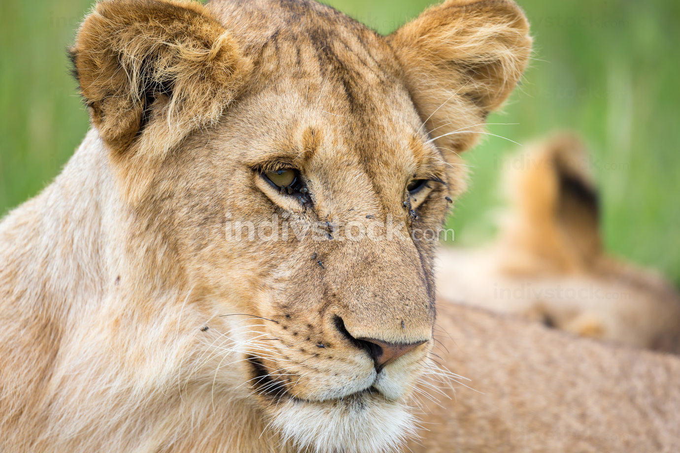 The portrait of a lioness, she lies in the grass in the savannah