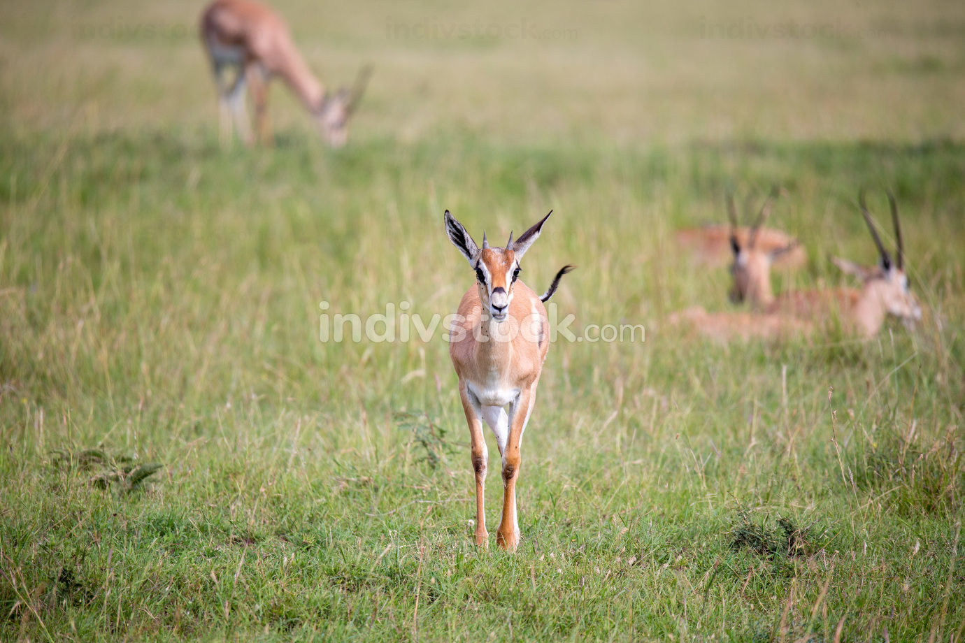 Thomson Gazelle in the Kenyan savannah amidst a grassy landscape
