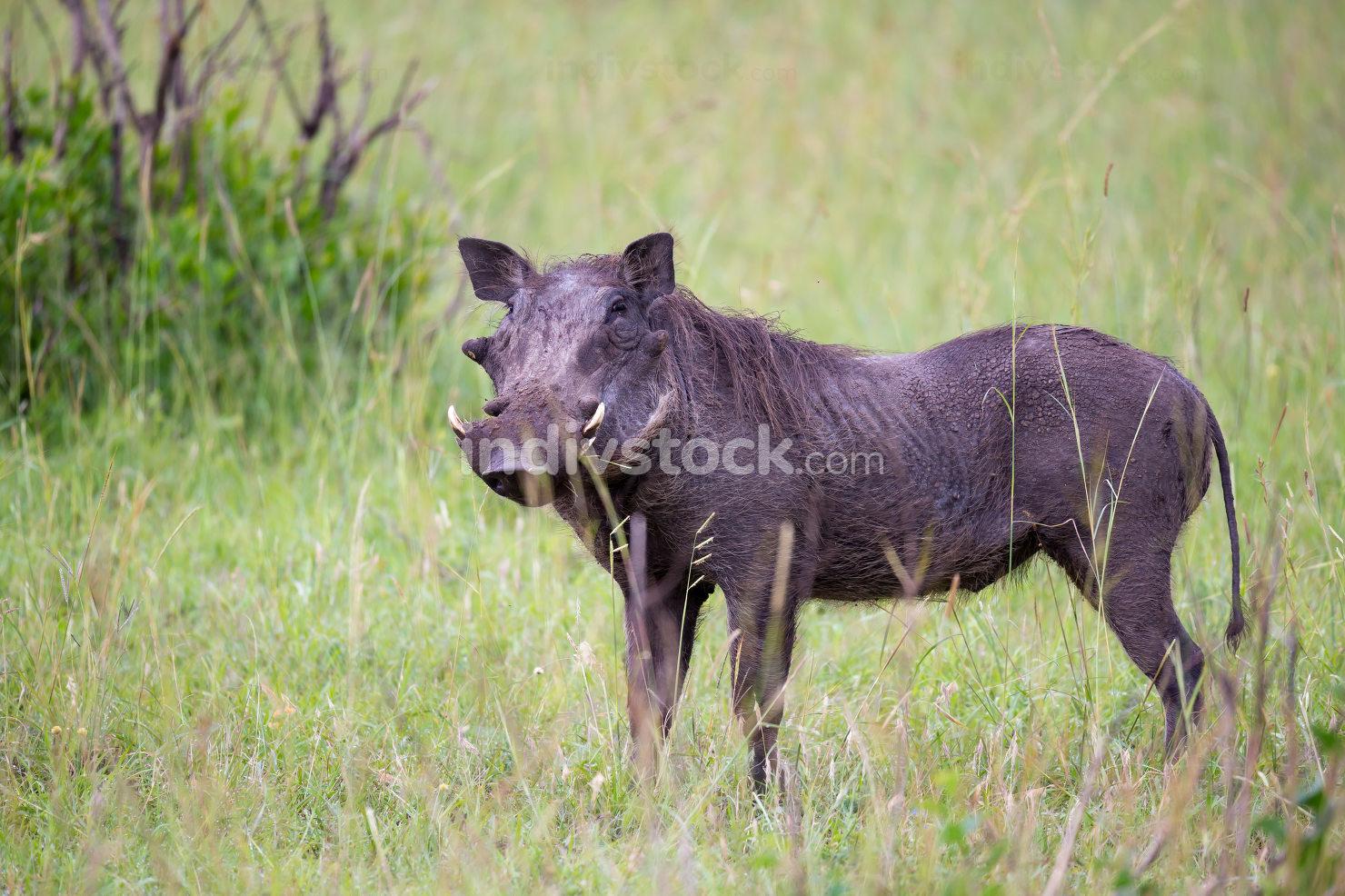 Warthogs are grazing in the savannah of Kenya