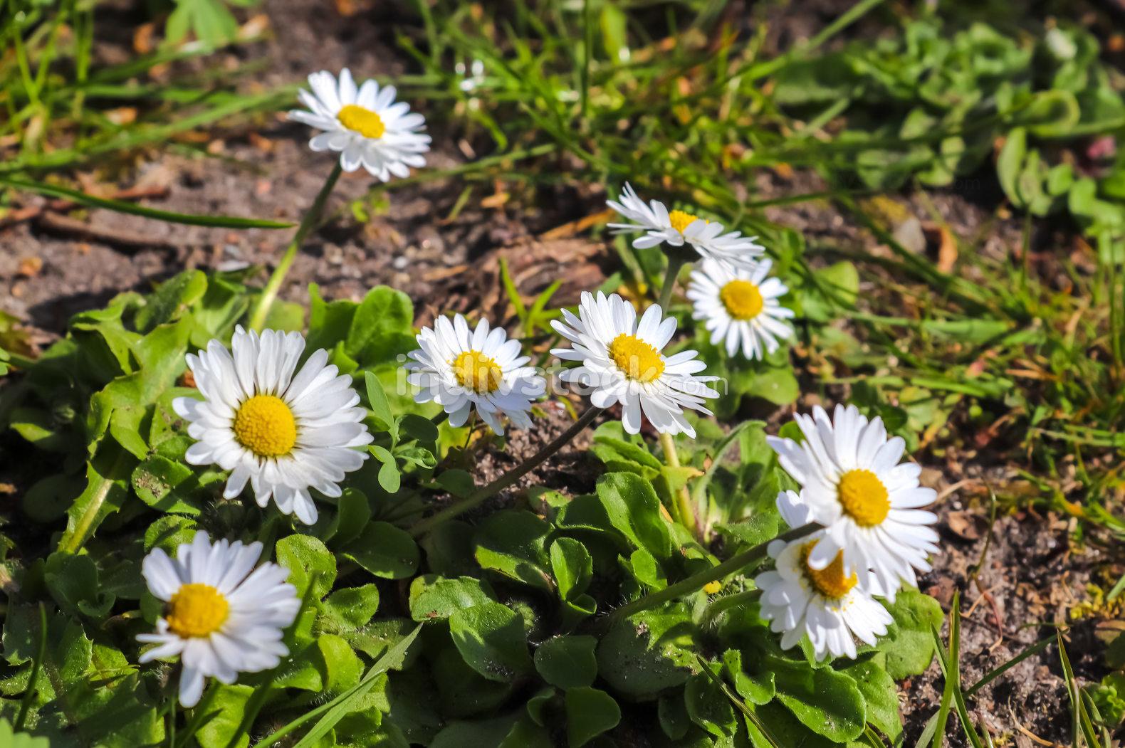 White garden daisy in a floral summer background. Leucanthemum v
