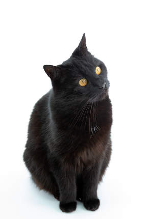 A beautiful black cat poses on a white background