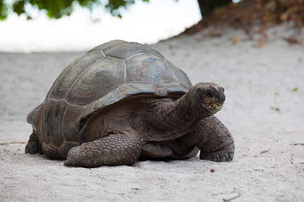 A big turtle on the beach on the Seychelles