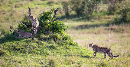 A cheetah walks between grass and bushes in the savannah of Kenya