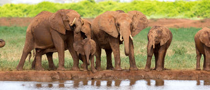A family of red elephants at a water hole in the middle of the s