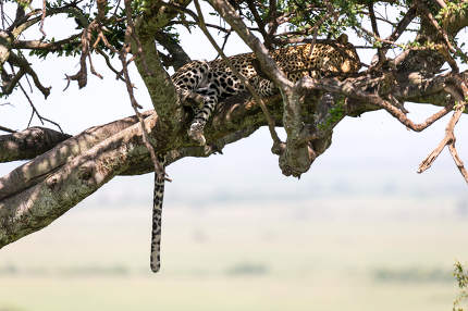 A leopard has settled comfortably between the branches of a tree