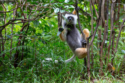 A Sifaka Lemur in the rainforest on the island of Madagascar