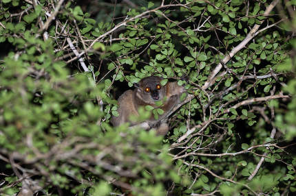 A small lemur hides between the branches and the foliage of a tr