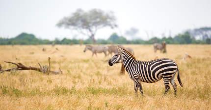 A zebra standing or walking throught the grassland