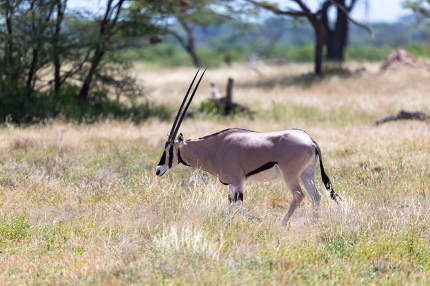 An Oryx family stands in the pasture surrounded by green grass a