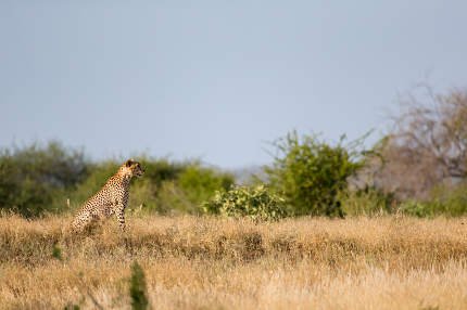 Cheetah in the grassland of the savannah in Kenya