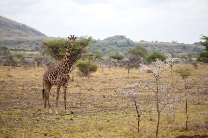 Giraffe is standing, Kenya on safari
