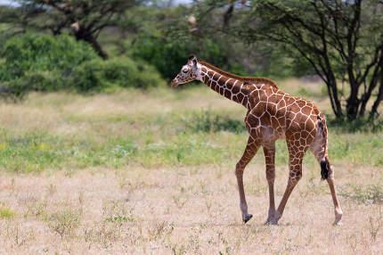 Giraffe walk through the savannah between the plants