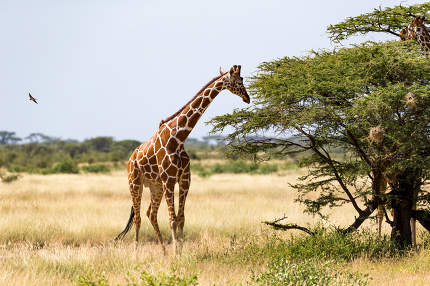 Giraffes in the savannah of Kenya with many trees and bushes in